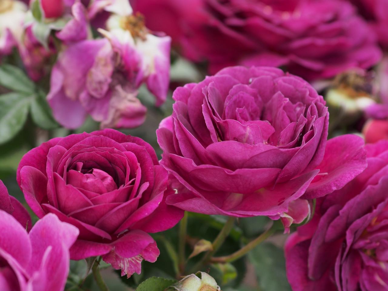 20131227_1011_1042 roses (State Rose Garden, Werribee)
