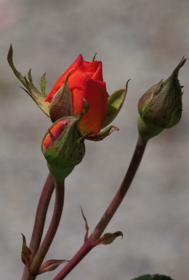 20131227_1036_1090 rose (State Rose Garden, Werribee)