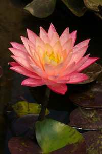 20131228_1219_5425 water lily