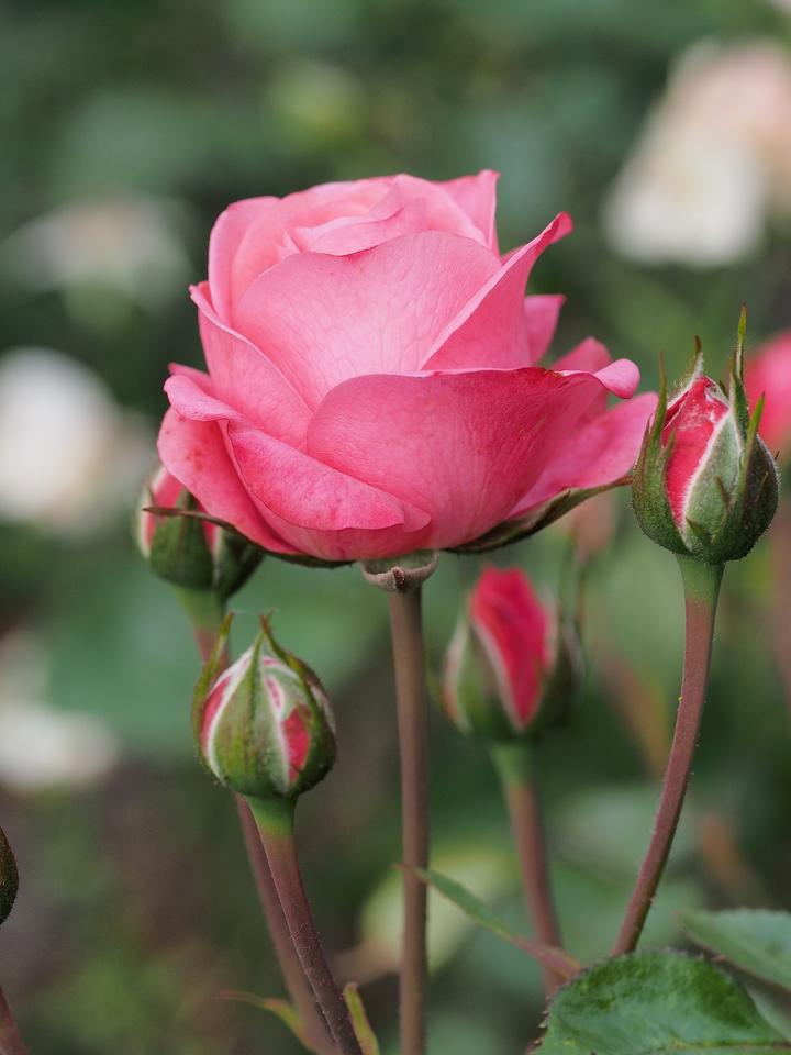20131215_0704_5705 rose (Ivanhoe Park)
