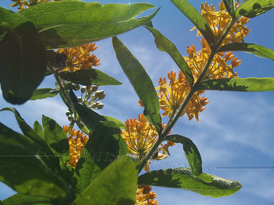 Butterfly Weed from below