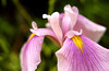Water Iris in Warren, PA  (fx)