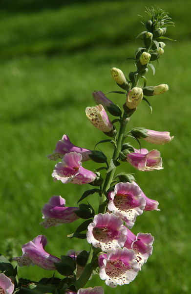 Foxglove or Digitalis; Quakertown, PA
