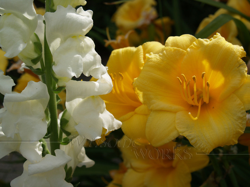 Snapdragon with Stella d'Oro Lily