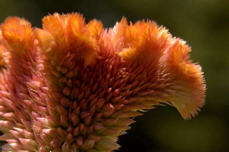 Cockscomb (celosia)