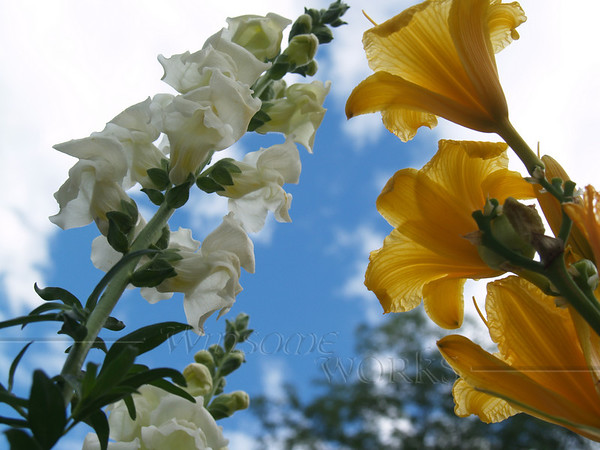 Snapdragons and Stella d'Oro Lilies, looking upwards