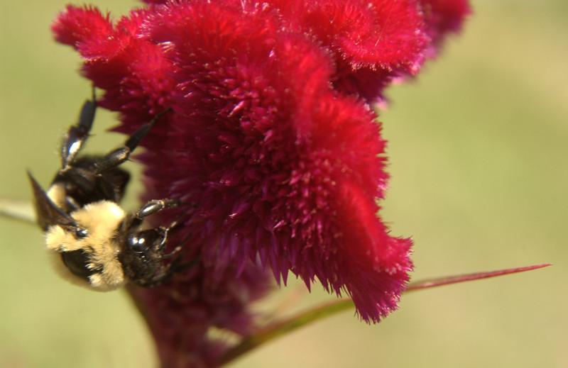 Bumblebee on cockscomb (celosia)