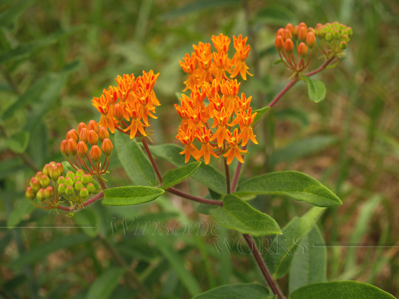 Butterfly Weed (Asclepias tuberosa) wildflower... in NC meadow in the Piedmont region