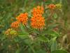 Butterfly Weed (Asclepias tuberosa) wildflower... in NC meadow in the Piedmont region