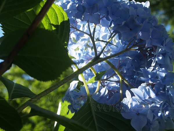 Hydrangea from below