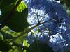 Hydrangea from below