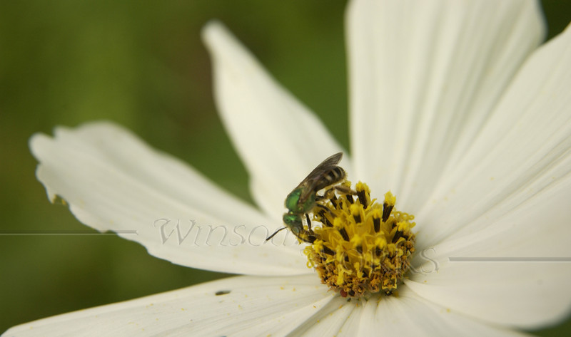 White cosmos with wasp or hornet
