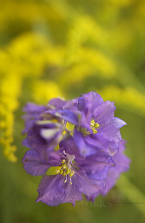 Larkspur ? (with goldenrod)