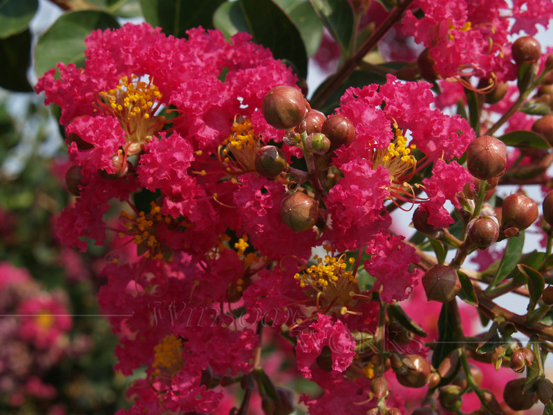 Crape Myrtle with Buds, Virginia