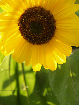 Sunflower in my backyard garden with afternoon backlighting