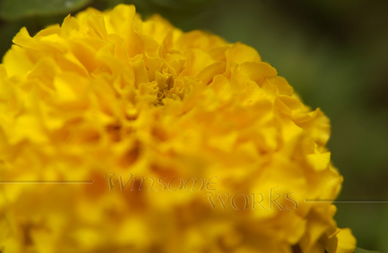 Marigold in my garden