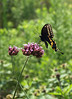 Black Swallowtail Butterfly on Purple Flower (at Virginia State Nature Center)