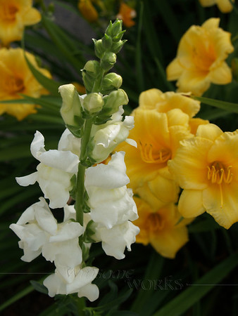 Snapdragons and Stella d'Oro