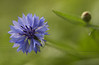 Bachelor's button (Centaurea cyanus)