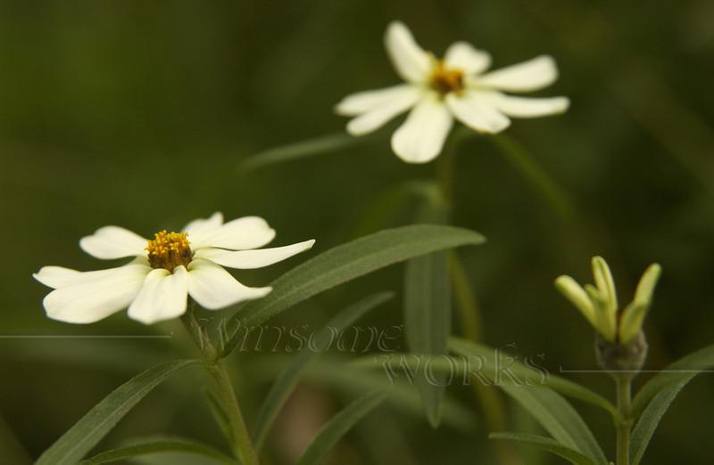 White zinnias in my garden