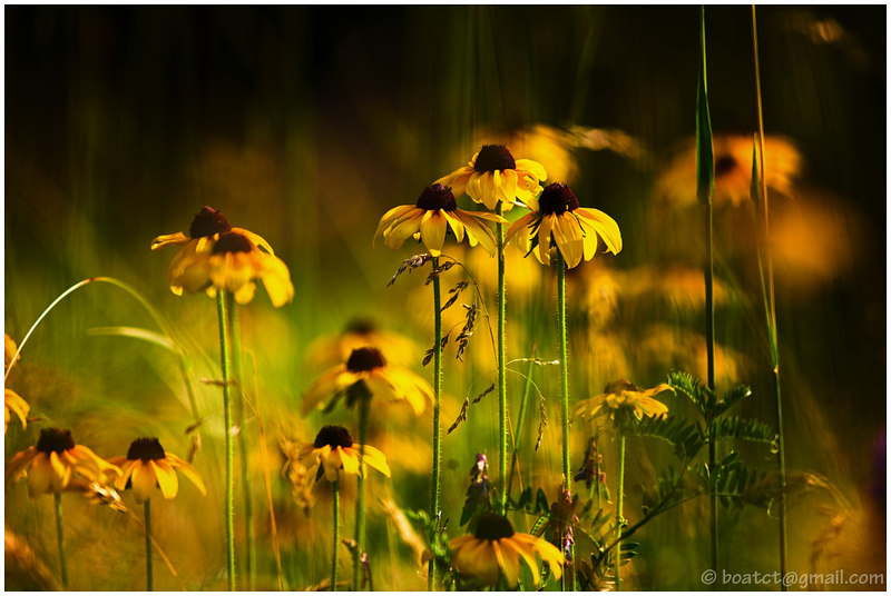 A wild tangle of Black Eyed Susans greeted me in the yard today. I somehow get a great deal of enjoyment from flower photos. The warm sun provided a pleasant golden light.