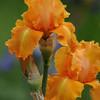 Iris 2011