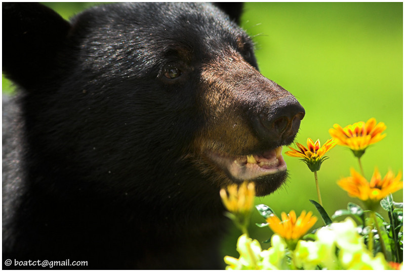 """Remember that old saying, """"Take time to smell the flowers?"""" Well, this yearling black bear took that to heart. He honestly seemed to enjoy these gazanias."""