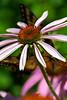 Crouching Coneflower, Hidden Butterfly
