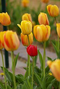 Tulips 155
