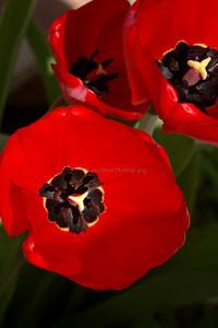 Tulips 49