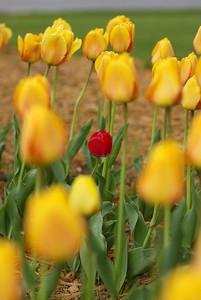 Tulips 150