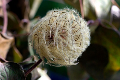 """Clematis """"Henryi"""" final stage"""