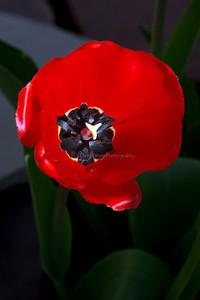 Tulips 48