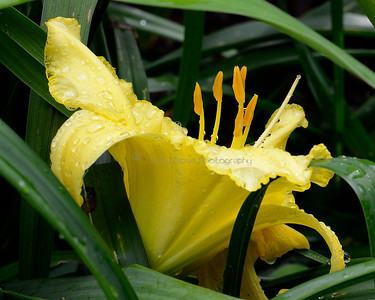 Yellow Daylily