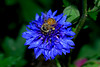 Honey Bee, Bachelor's Button