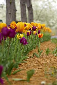 Tulips 169