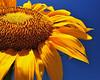 Sun Flower 3574wide