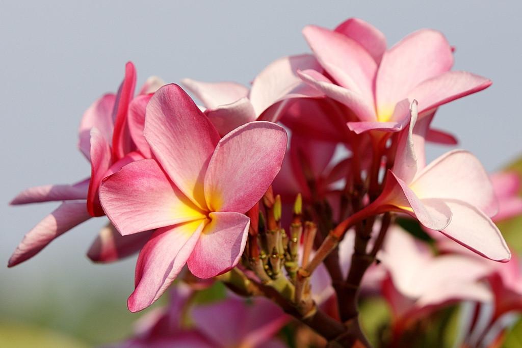 RCS5241 Pink Frangi-pani (Plumeria) Cluster.