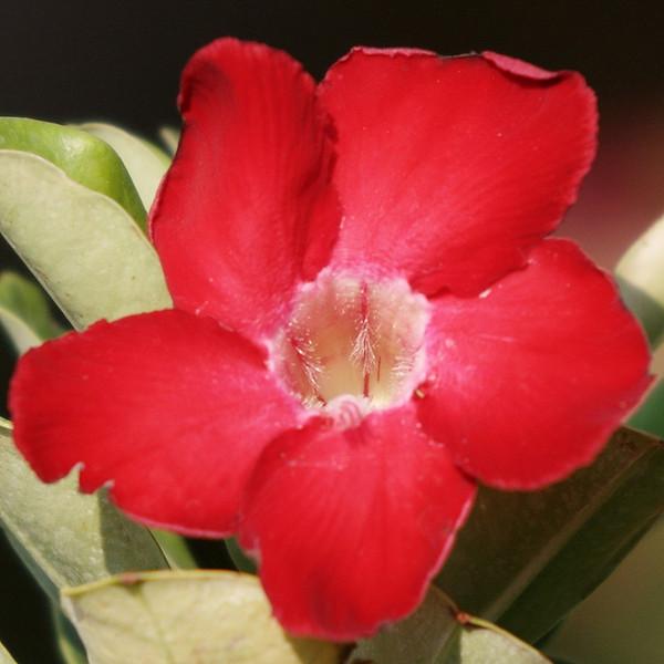 RCS5238 Red Desert Rose.