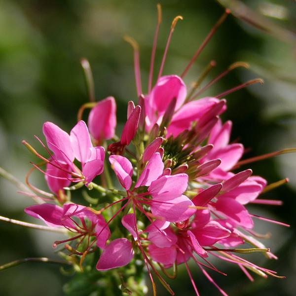 RCS5348 Spider Flower (Cleome).