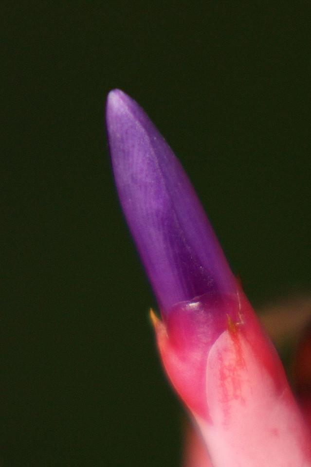 RCS5300 A Bromeliad tip that looks like purple lipstick.