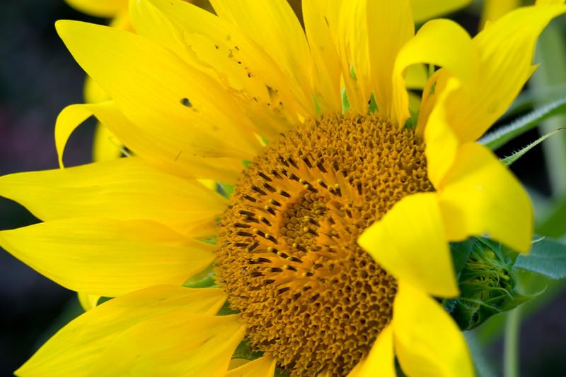 Sunflower037d