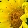 Sunflower037d