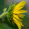 Sunflower037e