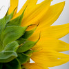 Sunflower037f