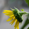 Sunflower037a
