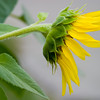 Sunflower037h
