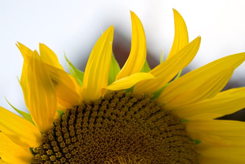 Sunflower037c