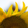 Sunflower037c