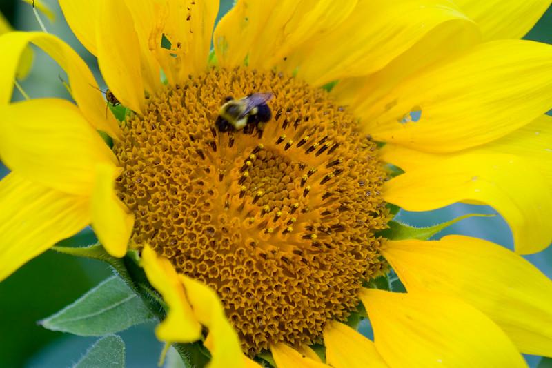Sunflower037g